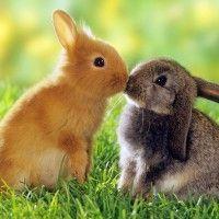 odrody králikov