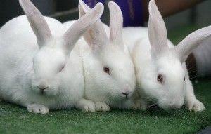 Krásne-bielo-novozélandskej-Rabbits-Tapety-300x191-300x191