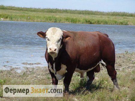 Bull uzgajati Kazahstanski Whitehead