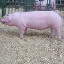 Свинья породы Ландрас