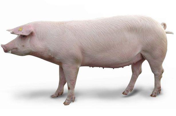Две свиньи породы Ландрас