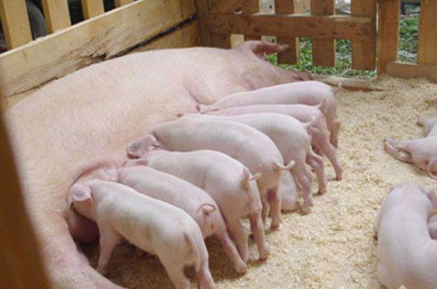 Свиноматка породы Ландрас кормит поросят