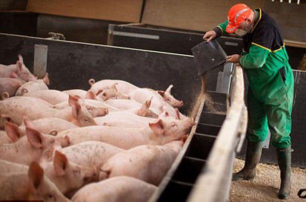 Обеспечение свиней кормом