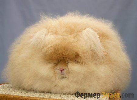 Особенности ангорских кроликов