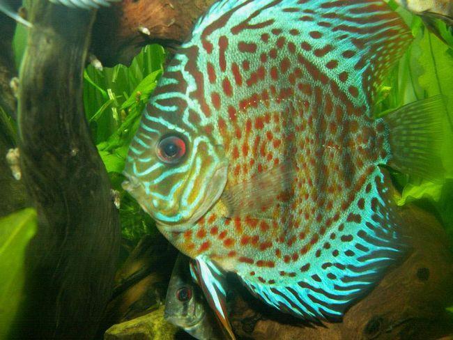 Većina riba dišu škrgama.