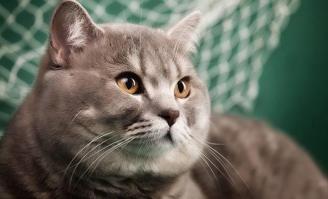 Особенности характера шотландских прямоухих кошек скоттиш страйт