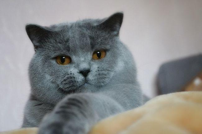 Škotski Straight mačića karakter - kako definirati karakter mače u ranoj dobi