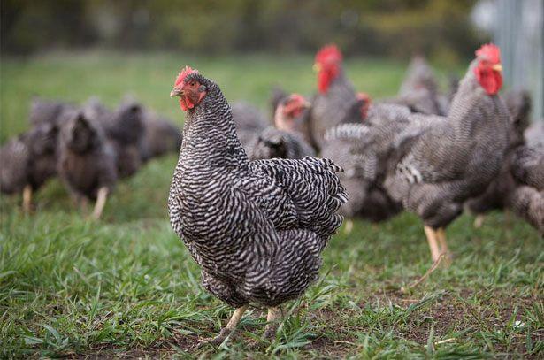 Курица породы Плимутрок