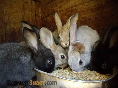 Кролики едят овес