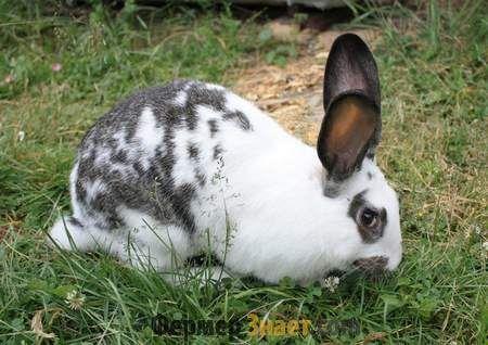 skala králik motýľ