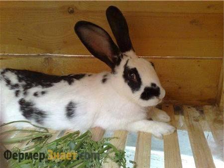 Черно-белый кролик бабочка