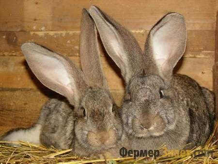 Особенности кроликов породы фландр