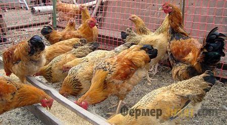 Особенности кучинской породы кур