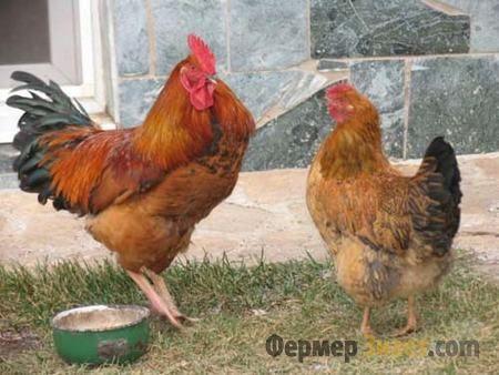 Петух и курица Кучинской породы