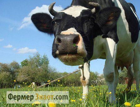Характеристики на лептоспироза по говедата и лечения