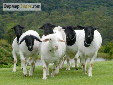 Самое интересное о наиболее распространенных породах овец
