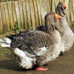 Особенности содержания и разведения тулузских гусей