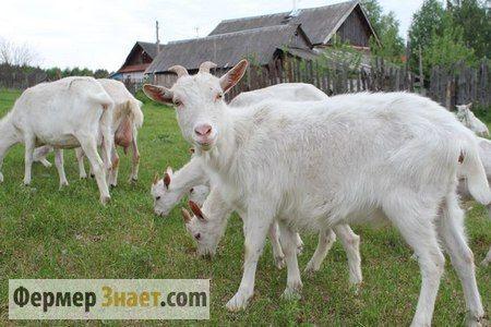 Особенности содержания коз: секреты для начинающих