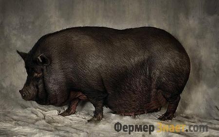Posebno sadržaja pot-bellied svinja