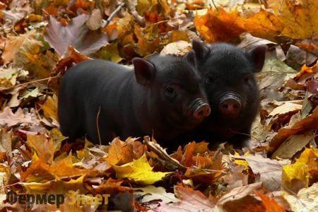 Vijetnamski svinje vislobryuhie