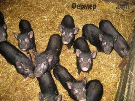 Vijetnamski svinje u svinjac