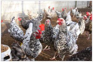 Особенности живучей и плодоносной пушкинской породы кур