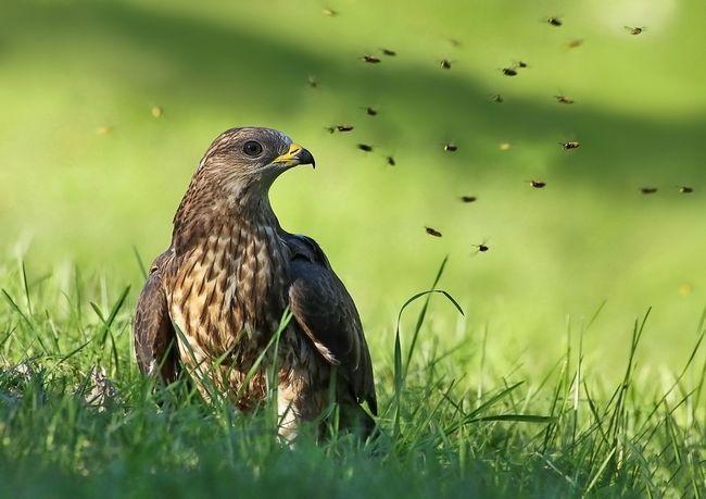 Обыкновенный осоед питается, главным образом, насекомыми