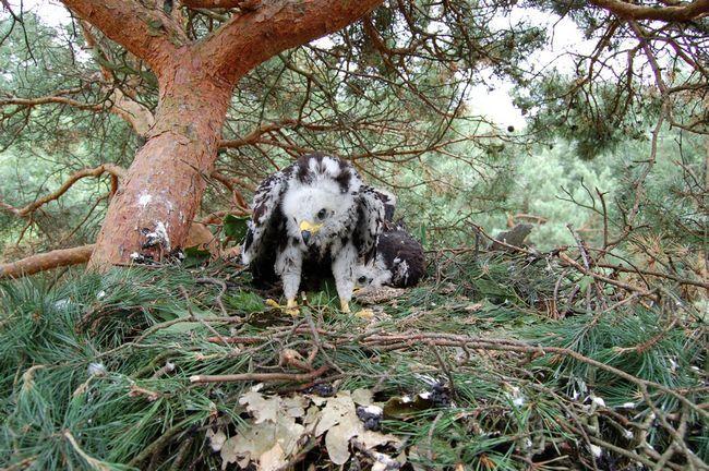 В места своего гнездования обыкновенные осоеды возвращаются в середине весны, и начинают строить гнездо на том же месте, что и в предыдущем году.
