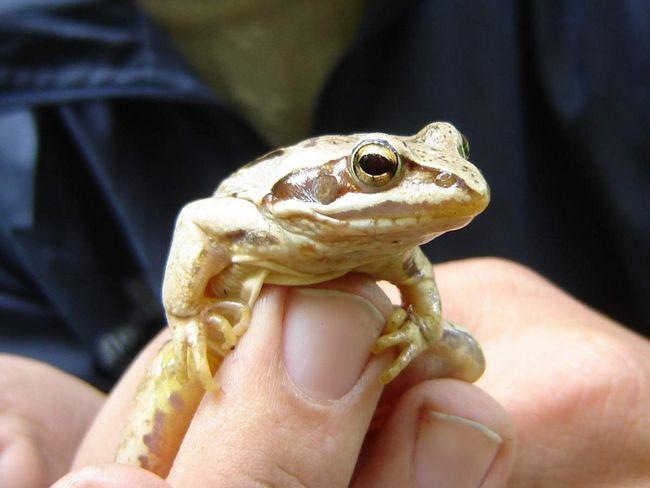 Moor žaba (Rana arvalis).