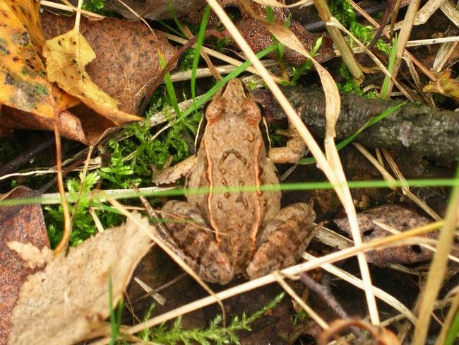 Moor žabe su često zbunjeni s biljnim.