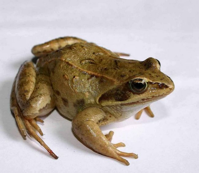 Većinu vremena ovih žaba provode na kopnu.
