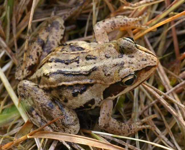Moor žaba voli ribnjaka sa velikim vegetacijom.