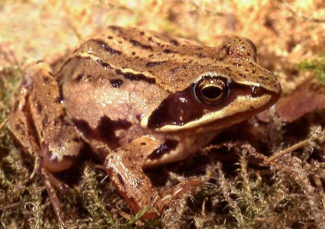 Ponekad ove žabe hiberniraju u ribnjaku.