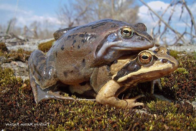 Moor žaba živi do 11 godina.