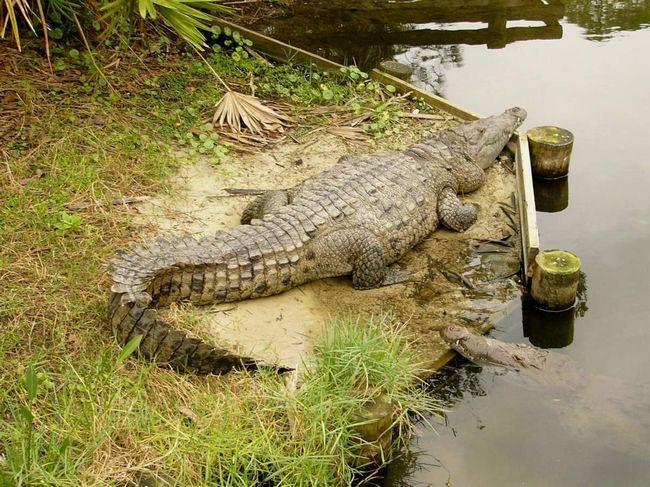Američki krokodil (Crocodylus acutus).