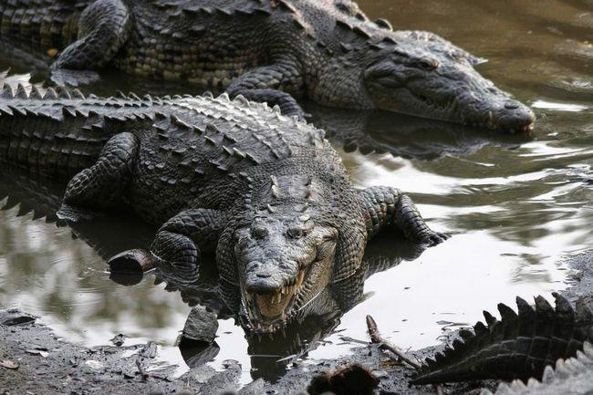 Ženke su manje od muškaraca američki krokodil.