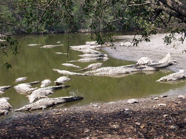 Ovi krokodila može napasti čak i stoku.