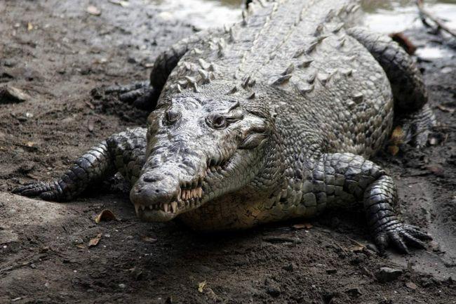 American krokodil - moćan i lukav predator.