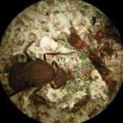 Открыто сотрудничество муравьёв и бактерий в добыче азота