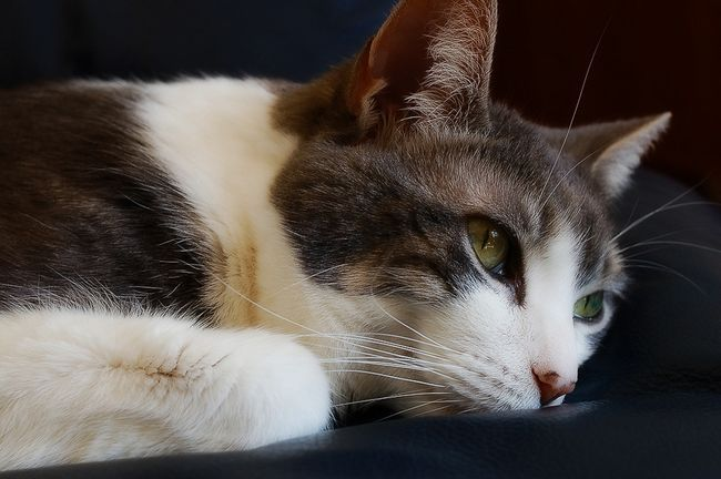 Отодектин: инструкция по применению для кошек