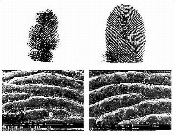 Otisak prsta: Koala - lijevo, čovjek - u pravu. (Ilustracija Macie Hennenberg, i dr.)