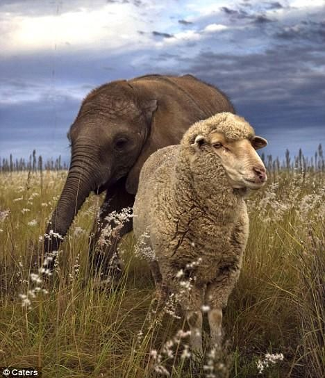 Ovce usvojio šest siročad beba slon