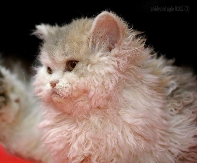 Neobična mačka sa vune ovaca.