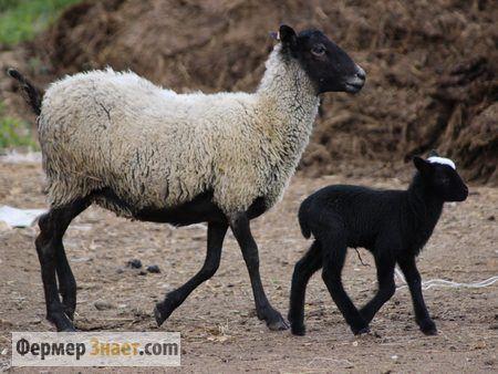 Prednosti i mane Romanov ovčarstvu