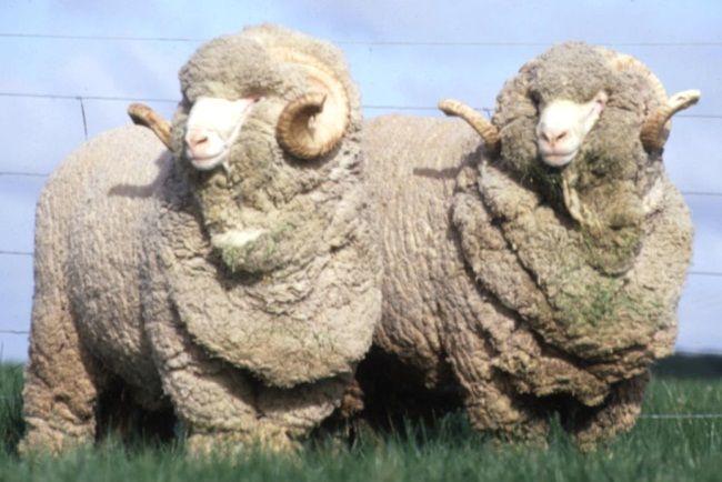 merino ovce