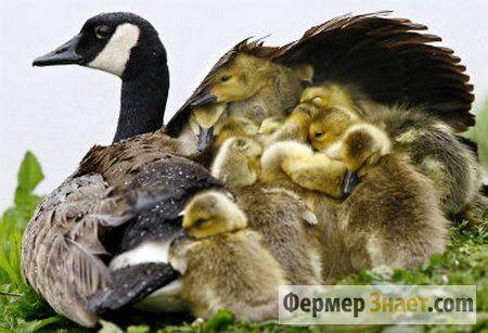 Гуси от яйца до яйца: советы по выращиванию гусят в домашних условиях