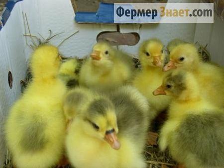 Особенности выведения гусиного потомства в домашнем инкубаторе