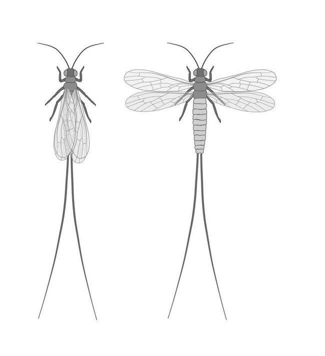 Paleodiktioptery (Palaeodictyoptera)