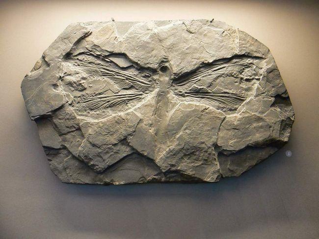 Na kamenných stopy dávnej poriadku hmyzu Palaeodictyoptera