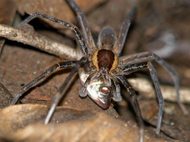 Iako je cephalothorax i stomak praistorijskih pauk nije tako velik, struja koja se nalazi u Kini - najveći pauk u povijesti paleontologije (foto Paul Selden).